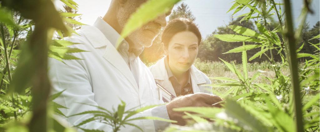 Des scientifiques et des plants de CBD